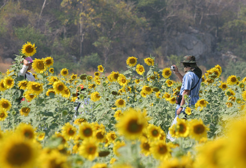 The sunflower fields throughout Saraburi are popular at the end of the year in a nation where digital cameras are almost as popular as mobile phones.